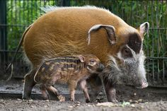 The young Red River Hog (Potamochoerus porcus) Thomu walks next to his mother Dagamba at the zoo Berlin, Germany