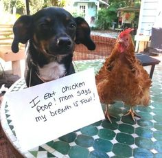 Dog Shaming features the most hilarious, most shameful, and never-before-seen doggie misdeeds. Join us by sharing in the shaming and laughing as Dog Shaming reminds us that unconditional love goes both ways. Wild Life, Cute Funny Animals, Funny Dogs, Dog Shaming Pictures, Cat Shaming, Chicken Humor, Funny Chicken, Cute Dogs And Puppies, Doggies