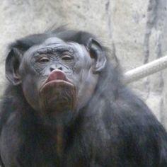 San Diego Zoo Bonobo Lana blowing kisses