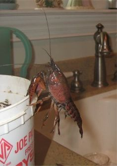 How to Catch a Crayfish (crawfish, crawdads, freshwater lobsters) // They can be boiled or roasted. Eat the tail meat then use the rest as bait.