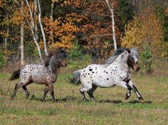 Аппалуза - фотографии - equestrian.ru