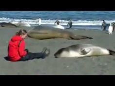 Baby elephant seal falls in love with woman... don't try this at home. This is not safe at all.