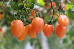 PLANTEA EN VERDE nos cuenta qué debemos hacer para disfrutar del rico sabor de los tomates durante mucho más tiempo. ¿Te gusta el huerto?