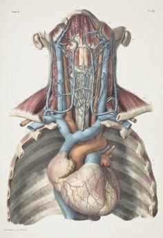 Anatomie de l'Homme - Vols. I-VIII, (Second edition, Paris, Author: Bourgery, Jean-Baptiste Human Anatomy Art, Human Anatomy And Physiology, Anatomy Study, Anatomy Drawing, Anatomy Illustration, Medical Illustration, Medical Drawings, Medical Art, Muscle Anatomy