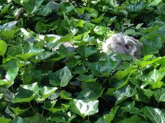Luna hiding in ivy.