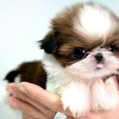 OH MYYYY! I want a teddy bear puppy!):