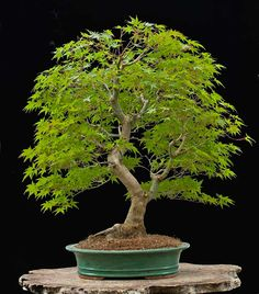 Un bello bonsai de árbol de maple Japonés, Acer palmatum, unusual, elegant, 55…