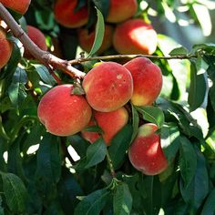 How to Grow Peaches #edible #food #fruit #gardening