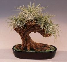 Air plant bonsai yes! Best of both worlds I bet this is easier to care for!