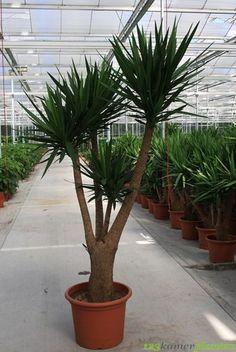 Yucca Elephantipes (Palmlelie)