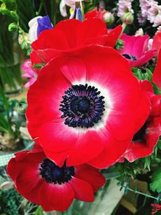 Everything you need to know about poppies poppy flower symbolism of red poppies mightylinksfo