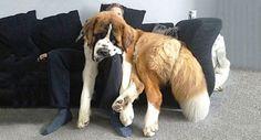 Chiens énormes: Si vous êtes propriétaire d'un chien, vous savez probablement qu'ils ne réalisent pas à quel point ils sont grands après avoir grandi.