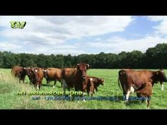Nearly all year long, you can see herds of Deep Red Cattle in the IJssel valley.  Deep Red cattle have few problems with natural barriers. This makes them suitable for grazing in (wet) nature reserves.    Follow us on Twitter: http://twitter.com/tvgreen