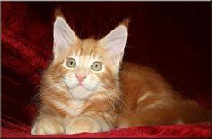 Wunderschöne Maine Coon Kitten in... (München) - Rot (Maine Coon)…