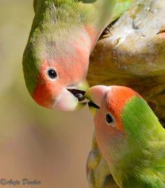 Este lindo pássaro de face rosa habita as regiões áridas do sudoeste da África, como o deserto da Namíbia. Eles vivem em pequenas áreas de sementes de grama e habitam ninhos feitos por outras espécies. É possível encontrá-los em algumas áreas do estado do Arizona, nos Estados Unidos.