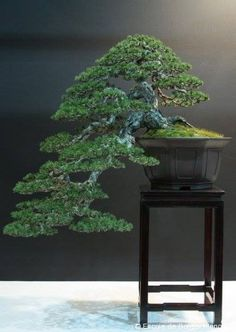 Pine bonsai BONSAI TREES / BONSAI STYLES :  More At FOSTERGINGER @ Pinterest