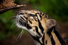 Harry the clouded leopard by John Hill on 500px