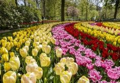 If you plan to visit Amsterdam during spring, escape the city and retreat to Keukenhof Gardens, filled with every varietal of tulips you could imagine. Day Trips From Amsterdam, Visit Amsterdam, Rhine River Cruise, Holland Windmills, Viking River, Tulips Garden, Les Themes, Home Vegetable Garden, Flower Photos