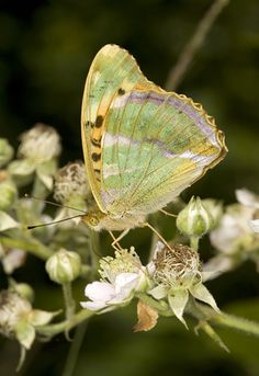https://flic.kr/p/6AJsbU | Fritillary | Silver-washed fritillary on bramble blossom in Ashclyst Forest. Flash shows the iridescent underwing colours.