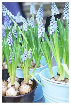 Baby blue bulbs
