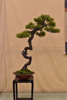 イメージ8 - 第37回岡山県盆栽名品展 ~松~の画像 - 三原の盆栽ブログ - Yahoo!ブログ