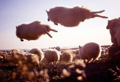 Icelandic sheep flying in the wind...// Moutons islandais volant au vent...