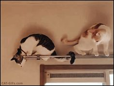 CAT GIF • Clumsy Cat who forgot how to Cat, falling like a stone