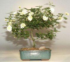 "Lantana Bonsai Tree(Lantana Involucrata) 8 yrs old 11"""