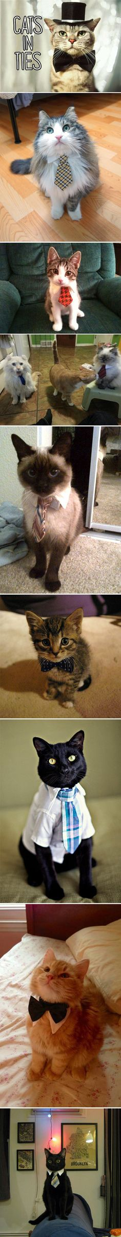 Fashionable cats. Bow ties on cats - surprise win for the day.