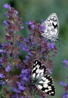 The Marbled White (Melanargia galathea) is a butterfly in the family Nymphalidae. Found across most of Europe, south Russia, Asia Minor and Iran.