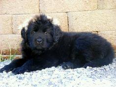8 week old Newfy Pup