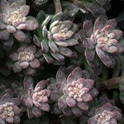 Black Purple Hens and Chicks Sempervivum Plant