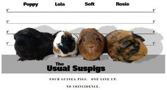 Here begins a meme. These are my actual guinea pigs.