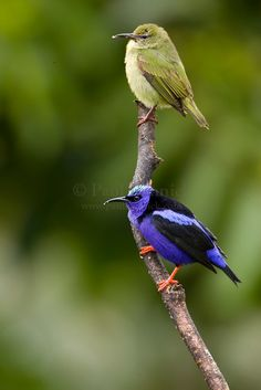 A pair of Red-legged Honeycreepers.