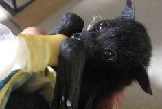 Flying fox baby bat