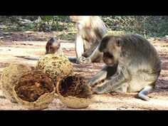 Man Giving Fruit To Monkeys – Monkeys Natural Life & Daily Action of Mon...
