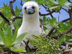 Sula sula nesting in Heliotropium foertherianum - Red-footed booby - Wikipedia