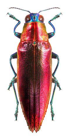 Iridotaenia aenea #Beetles