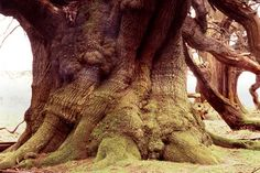 The Chestnut Tree of One Hundred Horses, Sicily generally believed to be 2,000 to 4,000 years old