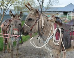 About thirty wild horses and burros will be available, all have been working with the trainers.