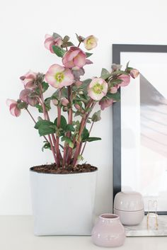 anyone know what this flower/plant is? Lenten Rose, Pink Plant, Plants Are Friends, Christmas Rose, Growing Plants, Houseplants, Flower Designs, Indoor Plants, Bunt