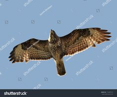 This photo was sold today @ Shutterstock Common buzzard (Buteo buteo) in flight https://www.shutterstock.com/da/image-photo/common-buzzard-buteo-173487512