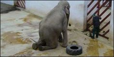 """""""@_AnimalAdvocate:  brought to her knees by #captivity! Get Tania to #sanctuary #breakthechains http://www.thepetitionsite.com/813/880/651/romania-send-tania-the-zoo-elephant-to-a-sanctuary/?cid=fb_LG_AdsTaniaSadElephant&z00m=22595136…"""