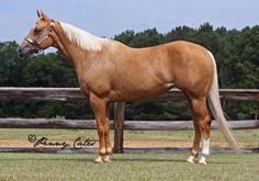 Quarter Horse - mare Proudly Streakin My mares first baby American Quarter Horse, Quarter Horses, Beautiful Horse Pictures, Beautiful Horses, Palomino, Horse Therapy, Horse And Human, Western Riding, Painted Pony