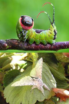 Как гусеница становится бабочкой. Гарпия большая (Cerura Vinula). - As  a caterpillar becomes a butterfly.