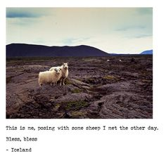 Icelandic sheep, can I have one?