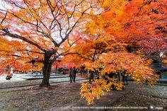 วัดชินเนียวโด ฤดูใบไม้ร่วง ใบไม้แดงสะใจมาก | #ทัวร์ญี่ปุ่นใบไม้แดง NOV 2014 : #AUTUMN #JAPAN GOLDEN ROUTE 2014 | #ทัวร์ญี่ปุ่นใบไม้เปลี่ยนสี 7 วัน 5 คืน บินTG