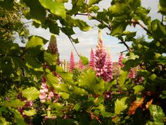 Lupines door de heg gezien. Check voor meer foto's Ivyandlily.nl