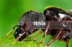 Black ant. Image taken at Kampung Skudup, Sarawak, Malaysia. © Chua Wee Boo / age fotostock - Stock Photos, Videos and Vectors