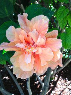 double ruffle hibiscus....beautiful